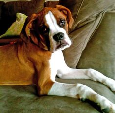 Behr the Boxer-Good Lookin Grown-up Puppy!
