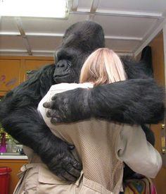 """Koko, sitting on a comfortable plastic barrel, gives Penny a good hug. Penny (Dr. Patterson) has been Koko's """"mom"""" and friend since Koko was 1 year old, in 1972, and their relationship is a model of what can be achieved through dedication and love."""