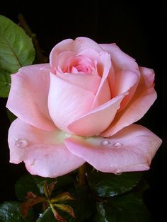 perfect rose - Google Search