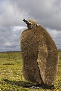 King Penguin (Aptenodytes patagonicus) chick, Volunteer Point, East Falkland Island, Falkland Islands