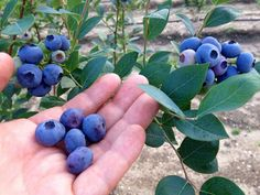 Blueberry plant, Blueberry bushes, Blueberry plants for sale, Organic plants, Blueberry gardening, Fruit bushes - Blueberries make a wonderful addition to any garden, and they're fairly easy to grow! - #Blueberryplant