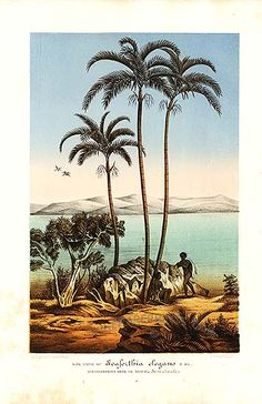 Antique print from 1860s of coconut palm trees and aborigine in coastal scene in Australia )