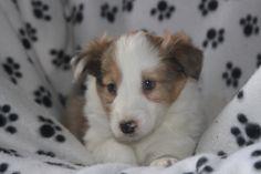 Sheltie Puppies For Sale, Shetland Sheepdog, Corgi, Animals, Corgis, Animales, Animaux, Animal, Animais