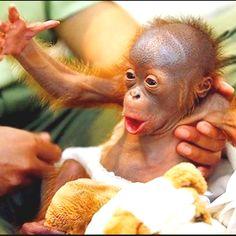 Orphaned orangutan in Borneo