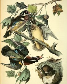 Today is #Feathursday and tomorrow (1/5) is #NationalBirdDay! Join in #musesocial for all the fine feathered fabulousness! Wood Ducks (Aix sponsa) from John James Audubon's #Birds of America Vol. 6 (1843) in #BHLib: http://ift.tt/2E7yJEg _________________________________________________ #WoodDucks #Ducks #Birds #Ornithology #HistSciArt #HistoricalSciArt #BiodiversityHeritageLibrary #BHLib #Biodiversity #NaturalHistory #Science #Art #ArtAndScience #Illustration #ScienceArt #Artists…