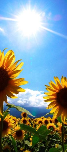 Sunflower - best flower ever - follows the sun because it's always looking for the bright side. :)