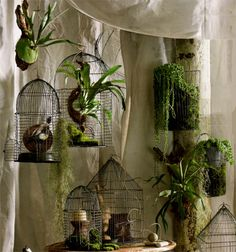 bird cages= great place to hang orchids and ferns in the house!