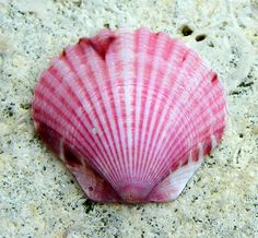 PINK SCALLOP