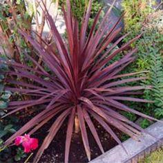 Google Image Result for http://www.georgiavines.com/optimgs/seeds/unusual/cordylneausstropurp300.jpg