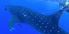 SHOCKING VIDEO OF 2 SPEARFISHING DIVERS WHERE UNDER ATTACK BY A LARGE WHALE SHARK