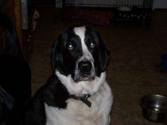 My Crede boy. Passed away last year. Saint Bernard/Lab mix. Best dog ever.