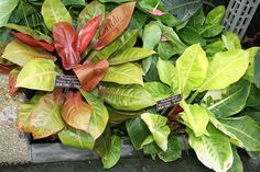 Philodendron - One of the top varieties for freeing indoor air of VOCs and excessive CO2 (which cause headaches, drowsiness, loss of concentration)