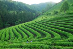 Tea garden | tea garden, hill, sky, summer