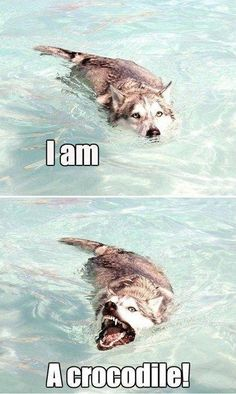 Crocodile Husky is Evolving - Funny Dog Quotes - Crocodile Husky is Evolving Funny Husky Meme Funny Husky Quote The post Crocodile Husky is Evolving appeared first on Gag Dad. The post Crocodile Husky is Evolving appeared first on Gag Dad. Funny Animal Jokes, Dog Quotes Funny, Cute Funny Animals, Cute Baby Animals, Funny Memes, Memes Humor, Funny Dog Pics, Cute Animal Humor, Cute Funny Dogs