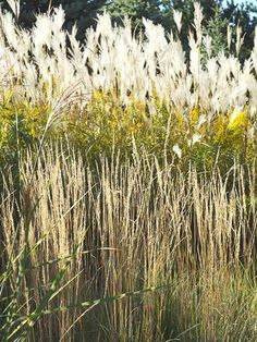 Types of grass grasses and the nice on pinterest for Tall ornamental grasses for screening