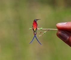 Excuse me I am out on a limb at the moment. It is a Rufous. foto found on twitter. This hummingbird is a small, about 8 cm long with a long, straight and slender bill. These birds are known for their extraordinary flight skills, flying 2,000 mi during their migratory transits
