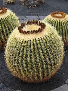 Golden Barrel Cactus:  Echinocactus grusonii [Family: Cactaceae]