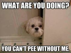 Pee a boo Shih Tzu … Do they all do this? Reminds me of my dogs … Pee a boo Shih Tzu … Tun sie das alle ? Erinnert mich an meine Hunde Mehr Shih Tzu Hund, Shih Tzu Puppy, Shih Tzus, Yorkie, Baby Animals, Funny Animals, Cute Animals, Cute Puppies, Cute Dogs