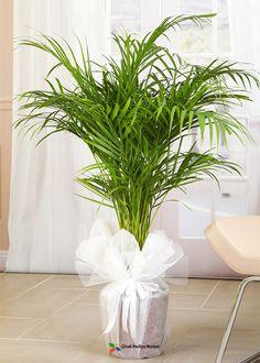 Areka Palmiyesi (Chrysalidocarpus Lutescens) bulunduğu ortamın havasını temizleyen nadir bitkiler arasında yer almaktadır. Siz de ev ya da iş yerlerinizde kullanabilir ya da sevdiklerinize hediye edebilirsiniz.   Yaklaşık Uzunluğu: 100 cm cicekhediyemarket.com