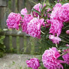 Delphiniums, Hydrangeas, Weeping Willow, Summer Breeze, Clematis, Dream Garden, Cactus, Gardening Tips, Pink Purple