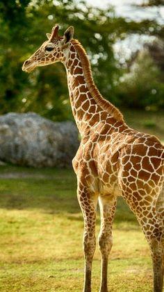 Girafa <3