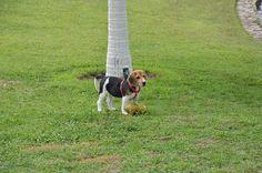 BEAGLE CANIL PEDRA DE GUARATIBA Rio de Janeiro - RJ - Desde 1990! AMORA DA PEDRA DE GUARATIBA  Nascimento: 16/12/14. Proprietária: José Luiz. Site: http://www.canilpguaratiba.com #canilpedradeguaratiba #beaglecanilpedradeguaratiba #beagle
