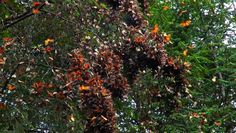 Monarch Butterflies -- Migration to Mexico