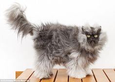 """EL GATO CON EL PELO MÁS LARGO  Coronel Miau (""""Colonel Meow"""" en ingles), cruce de las razas himalaya y persa, es según el Guinness de los Records 2014 el gato con el pelo más largo del mundo: mide 22,87 centímetros.  El increíble felino vive en Washington, Estados Unidos.  http://www.perroverdeygatonegro.com"""