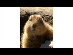Marmotte Chiante - Le salaire viable au Québec  Un conseil efficace !  #maitrefun #marmotte #chiante #marmottechiante #vulgaire #humour #drole #comique Polar Bear, Animals, Animais, Animales, Animaux, Animal, Polar Bears, Dieren