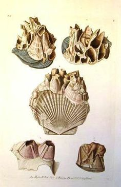 Knorr Shell -1755- Hand-Colored - FIVE SHELL FRAGMENTS