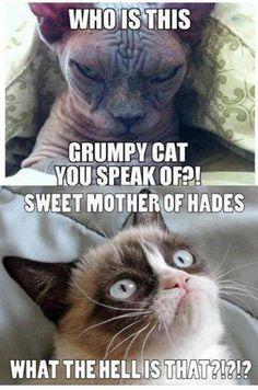 Grumpy cat & the hairless cat