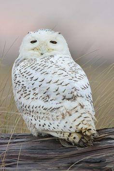 Source: Flickr / sigmaeye  #snowy owl