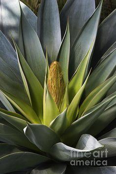 Century Plant by Craig Lovell Oak Creek Canyon Arizona, Entryway Art, Cactus, Still Life Photos, Agaves, Desert Plants, Green Life, Tropical Garden, Cool Plants