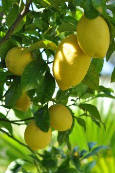 Lemon Tree ~Lemon can lighten skin too-learn more @ http://meladermpigmentreducingcomplex.org/how-to-lighten-skin/