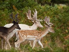 melanistic, albino and natural fallow deers photographed by Mszafran