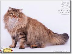 Lazar the Siberian Cat