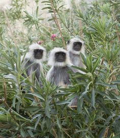 """Black faced monkey, Bandar or langur Mostly To be found in western Rajasthan state of india, """"Bandar"""" is real name of monkey in india Indian Monkey, Indian Animals, Le Zoo, States Of India, Pet Monkey, Animal 2, Farm Animals, Animal Kingdom, Westerns"""