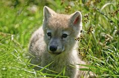 Arctic Wolf Pup by Michael Cummings on 500px