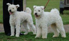 Pumi - Strangest Looking Dog Breeds