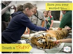 Have You Ever Wanted to Touch a Tiger? The Oregon Zoo has an amazing program that allows blind students to visit the veterinary clinic and interact with large (and often dangerous) animals while anesthetized. Very cool idea!