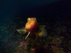 A Pagothenia Bernacchi fish in the Ross Sea. Photograph by: Steve Rupp, National Science Foundation, Date Taken: March 2008 National Science Foundation, Antarctica, Photo Library, Photograph, March, Fish, Sea, Animals, Photography