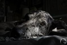 Varel, a merle Great Dane.  Low key portrait. #petportrait, #BarkCheese