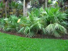 Serenoa repens, saw palmetto