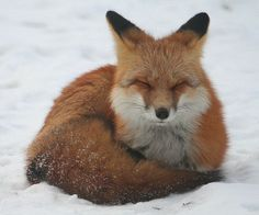 An orange fox curled up resting in the snow with its eyes closed.