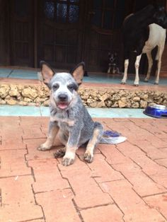 Ganadero Australiano Blue Heeler