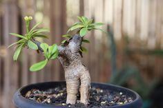 Euphorbia quartziticola