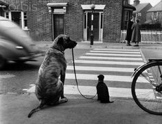 Dogs at a Crosswalk... A great dane holds the lead of its smaller companion as they wait at the side of a road during a traffic training class run by Mrs. Barbara Woodhouse, ca. 1960. Photo by Maurice Ambler. °