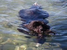 "Underwater Newfoundland Dogs | Newfoundland Dog Swimming ""wade"" loves to swim…"