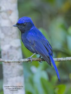 The Large Niltava (Niltava grandis) is a species of bird in the Muscicapidae family. It is found in Bangladesh, Bhutan, Cambodia, China, India, Indonesia, Laos, Malaysia, Myanmar, Nepal, Thailand,and Vietnam. Its natural habitat is subtropical or tropical montane forests.
