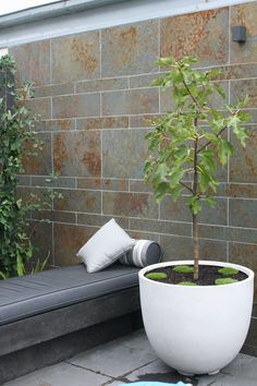 Courtyard garden planted out with Ginko trees and  a potted fig. Feature wall is clad in Eco outdoor lichen walling which warms the cool grey palette of the charcoal concrete day bed. www.rpgardendesign.com.au Potted Plants, Garden Plants, Ginko Tree, Grey Palette, Garden Design, Concrete, Planter Pots, Deco, Charcoal